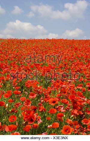 Landschaft, Blumenwiese, Mohn, bluehen, Natur, Huegel, Wiesen, Felder, Weite, Ferne, Aussicht, Horizont, Vegetation, Botanik, un - Stock Photo