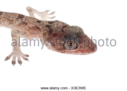 gecko babe head isolated - Stock Photo