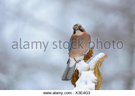 Eurasian Jay (Garrulus glandarius) sitting on tree branch, snow, winter, Thuringian Forest, Thuringia, Germany - Stock Photo