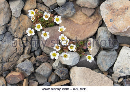 Irish Saxifrage (Saxifraga rosacea), Spitsbergen, Norway - Stock Photo
