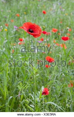 Wild Red Blooming Poppy In The Meadow - Stock Photo