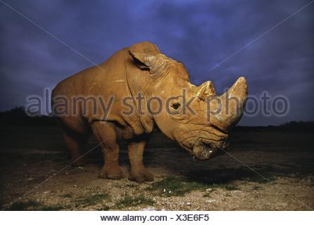 South Africa White rhinoceros Ceratotherium simum Africa - Stock Photo