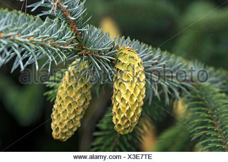 Young cones, Sitka Spruce (Picea sitchensis), Switzerland - Stock Photo
