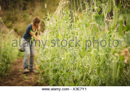 Green peas hanging on boundary in field - Stock Photo