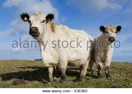 Domestic Cattle, White Galloway. Cow and calf on a pasture - Stock Photo