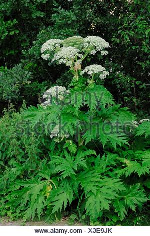 Giant hogweed (Heracleum mantegazzianum, Heracleum giganteum), flowering, found in the Caucasus, introduced to Europe - Stock Photo