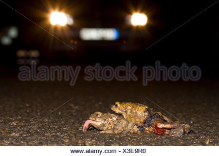 Erdkroete, Erd-Kroete (Bufo bufo), ueberfahrenes Paar auf einer Strasse, Deutschland | European common toad (Bufo bufo), roadkil - Stock Photo