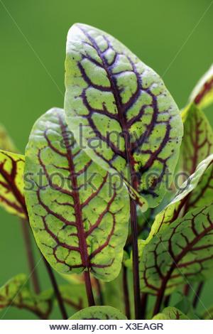 Blaetter - leaves plant plants sorrel sorrels dock docks 'buckler-leafed' 'leaf-shield' herbaceous polygonaceae europe european - Stock Photo