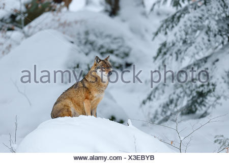 Gray Wolf (Canis lupus) sitting on a snowy hill, animal outdoor enclosures, captive, Bavarian Forest National Park, Bavaria - Stock Photo