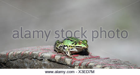 closeup, animal, green, frog, edible, sole, nature, macro, close-up, macro - Stock Photo