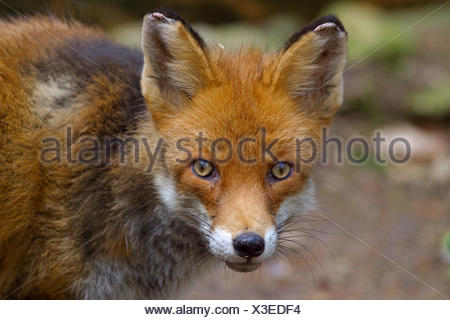 red fox (Vulpes vulpes), portrait, Germany - Stock Photo