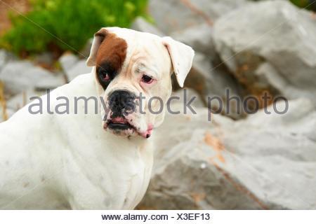 White German Boxer. - Stock Photo