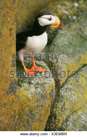 Horned Puffin (Fratercula corniculata) - Stock Photo