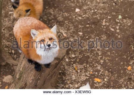 Cute Fox looking up - Stock Photo