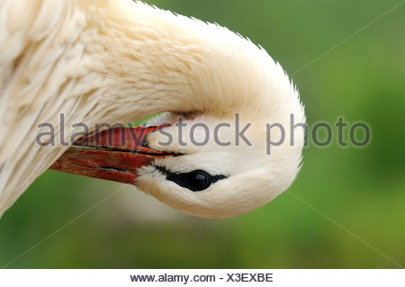 white stork (Ciconia ciconia), white storck preening feathers, France, Alsace - Stock Photo