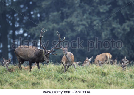Red Deer stag tests receptiveness - Stock Photo