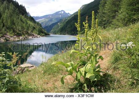 False Helleborine Veratrum album at mountain lake - Stock Photo
