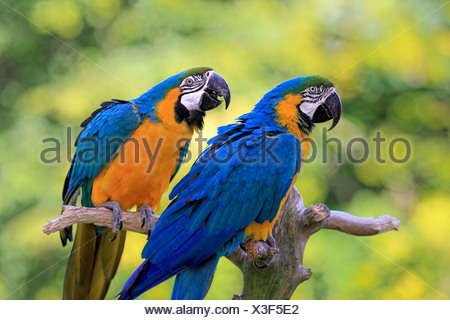 Blue-and-yellow Macaws (Ara ararauna), native to South America, captive, pair perched on a lookout branch - Stock Photo