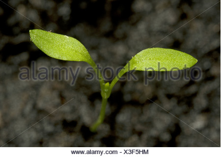 Seedling cotyledons of chickweed, Stellaria media, an annual agricultural and garden weed - Stock Photo