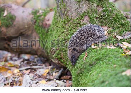 Hedgehog Erinaceus europaeus in woodland Norfolk UK autumn - Stock Photo