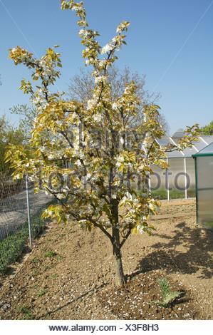 Japanese pear tree - Stock Photo