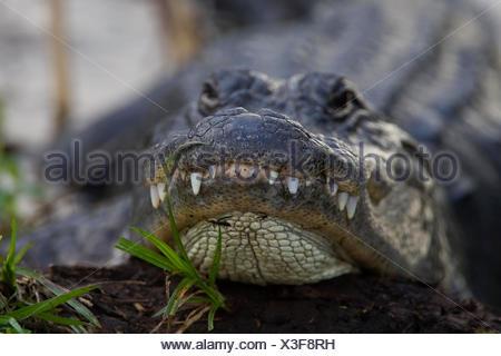 Alligator, Alligator mississipiensis, Aligator - Stock Photo