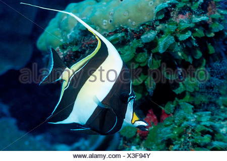 Moorish Idol Zanclus cornutus Pacific Micronesia Palau - Stock Photo