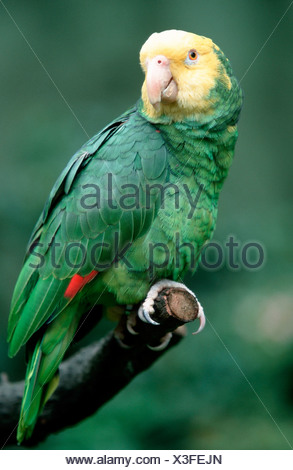 Double Yellow-headed Amazon - Stock Photo