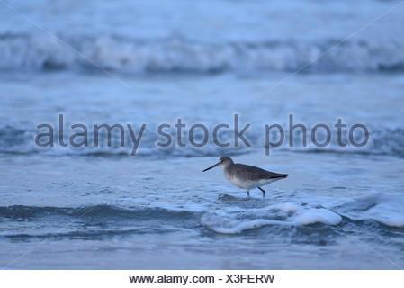 USA, United States, America, Texas, Corpus Christi, Padre Island, bird, surf, ocean - Stock Photo