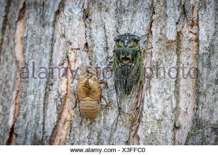 Dog-day Cicada (Neotibicen canicularis) beside a molted cicada exoskeleton, Toronto, Ontario, Canada - Stock Photo