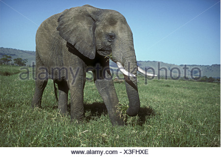 Large mature solitary male elephant bull grazing in green grass grassland savannah Masai Mara National Reserve Kenya East Africa - Stock Photo