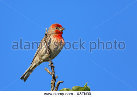 House finch (Carpodacus mexicanus), male sitting on a bush, Canada, Vancouver Island, Victoria - Stock Photo