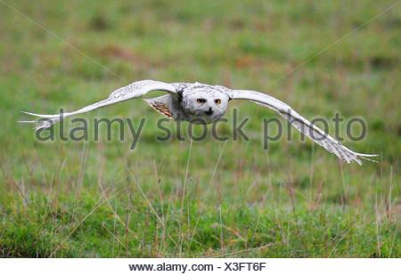 Snowy Owl (Strix scandiaca, Nyctea scandiaca, Bubo scandiacus), flying - Stock Photo