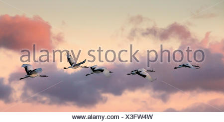 Japanese red crested cranes flying above Akan in hokkaido, at sunset - Stock Photo