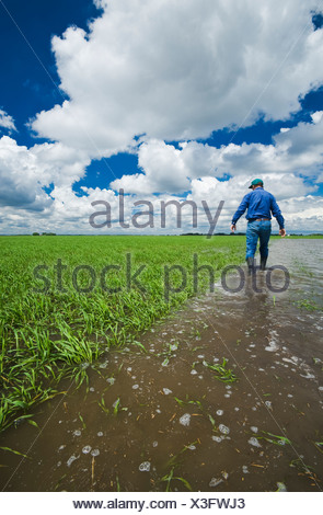 A farmer examines a flooded early growth barley field, developing storm clouds in the sky, near Niverville, Manitoba, Canada - Stock Photo