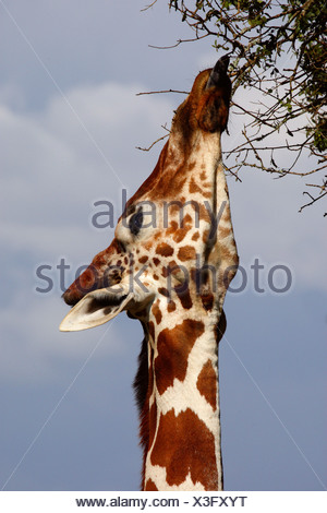 reticulated giraffe (Giraffa camelopardalis reticulata), stretching the neck and feeding from high branches, Kenya, Sweetwaters Game Reserve - Stock Photo