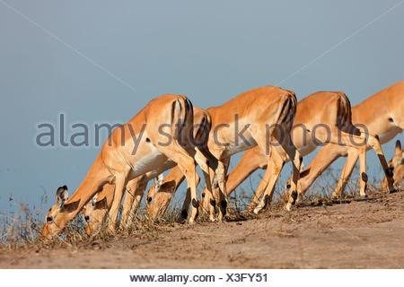Blackfaced impala, Chobe river, Botswana, Africa / (Aepyceros melampus petersi) - Stock Photo