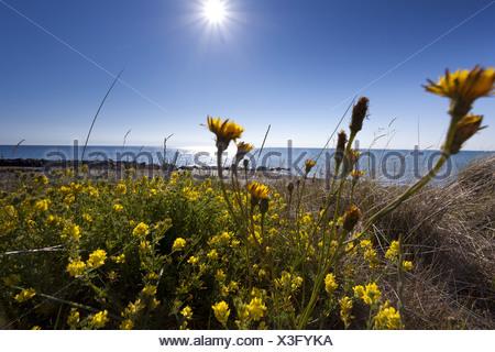 Sickle alfalfa sickle medick yellow lucerne yellow flowered sickle alfalfa sickle medick yellow lucerne yellow flowered alfalfa medicago falcata mightylinksfo