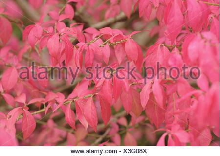 European priest's cap, branch, leaves, pink ones, - Stock Photo