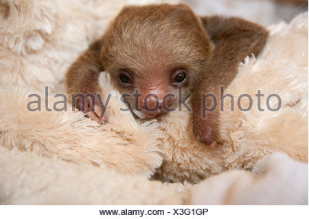 Hoffmann's Two-toed Sloth (Choloepus hoffmanni) orphaned baby with cuddly toy, part of rehabilitation program, Aviarios Sloth Sanctuary, Costa Rica. - Stock Photo