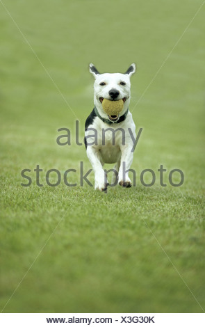 American Staffordshire Terrier (Canis lupus f. familiaris), Dog running with ball - Stock Photo