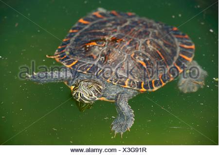 Western Painted Turtle (Chrysemys picta bellii), native to North America, captive, Bergkamen, North Rhine-Westphalia, Germany - Stock Photo