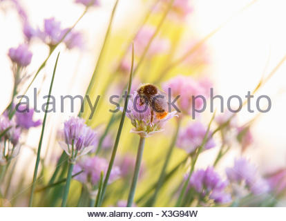 Bumblebee pollinating chive blossoms, close up - Stock Photo