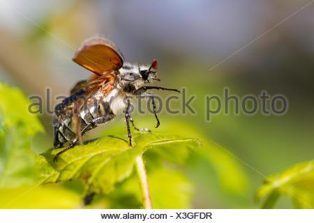 common cockchafer, maybug (Melolontha melolontha), before starting, Germany, Bavaria - Stock Photo