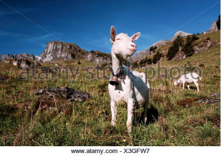 Alp, Alps, alpine pasture, alpine farming, mountain landscape, mountainous landscape, mountain scenery, mountainscape, Bernese A - Stock Photo
