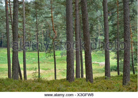 coniferous forest in summer, Germany, Bavaria, Oberpfalz - Stock Photo