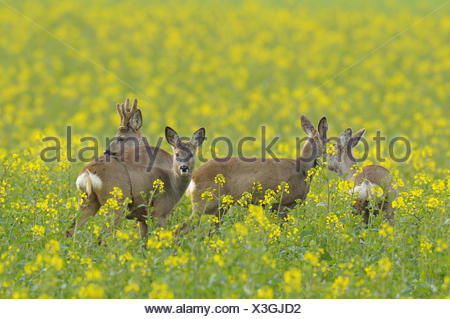 Roe deers, Capreolus capreolus, Germany - Stock Photo