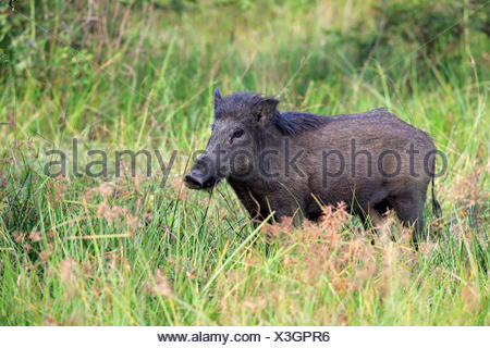 Wild boar (Sus scrofa affinis), Sri Lanka boar, adult, alert, Yala National Park, Sri Lanka - Stock Photo