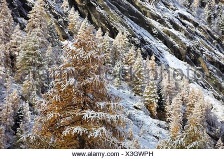 common larch, European larch (Larix decidua, Larix europaea), onset of winter in Arollatal valley, Switzerland, Valais - Stock Photo