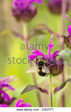 Bergamot, Bee balm, Monarda fistulosa, Garden bumble bee, Bombus hortorum, pollinating a pink flower. - Stock Photo